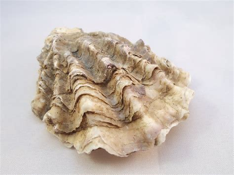 oyster shell natural oyster shell large rustic shell by beakez on etsy