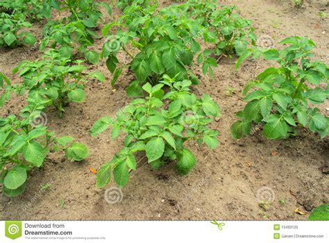 potato plant stock photo image 13493120