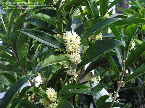 fragrant olive plant plantfiles pictures fragrant tea olive fudingzhu