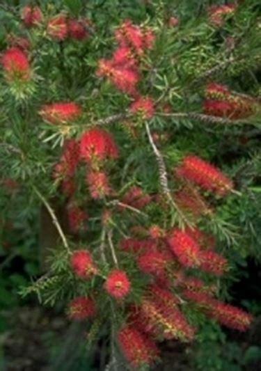 alberello da giardino callistemon callistemon piante da giardino