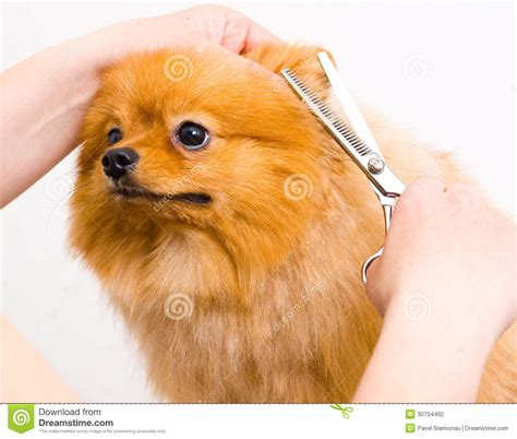 how to groom a pomeranian puppy grooming pomeranian stock photography image 30704402