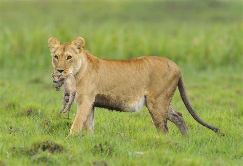 imagenes de leones en navidad as 237 nace un le 243 n quo