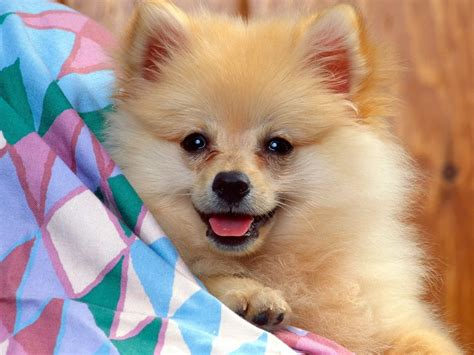 small pomeranian pomeranian pictures photograph all list of different dogs breed