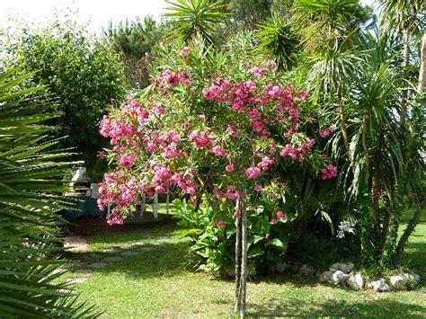 fiore oleandro adriano 56 oleandro fiore rosso cura dei fiori delle