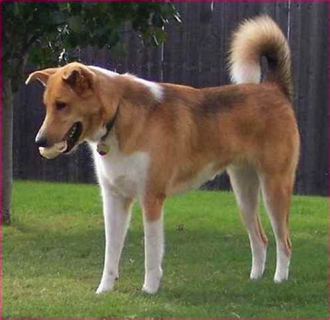 dogs with curly tails and floppy ears dog breeds with a curled tail simple image gallery