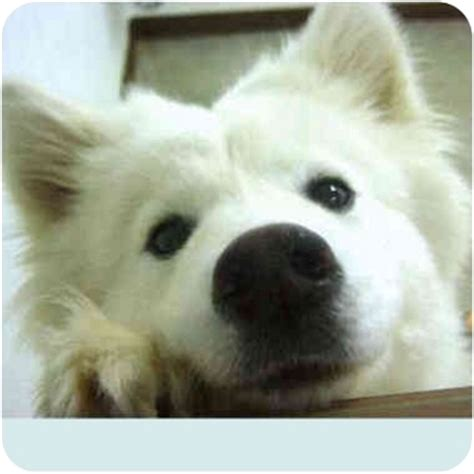 samoyed husky mix puppies for sale samoyed husky mix puppies breeds picture
