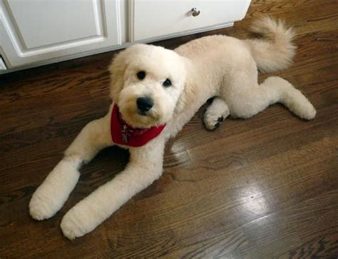 types of cuts for golden doodle the 25 best ideas about goldendoodle haircuts on