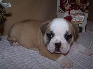 miniature bulldog puppies for sale nc mini bulldog puppies for sale in sc