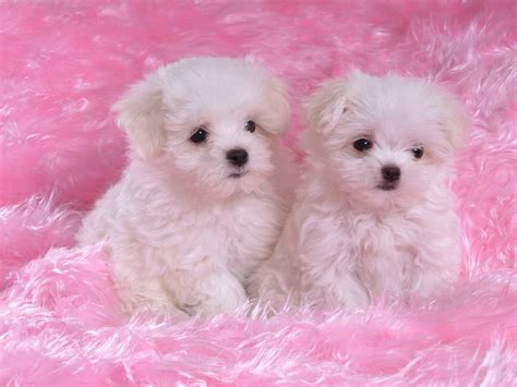 dogs and puppies for sale dogs and puppies for sale wallpaper