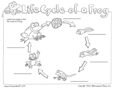 Cycle Of A Frog Worksheet by Frog Cycle Worksheet Tim De Vall
