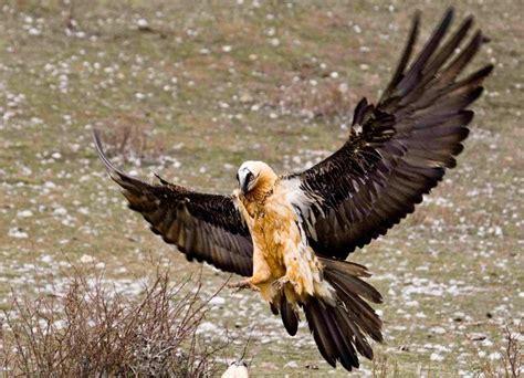 bearded vulture wingspan gypaetus barbatus vultures