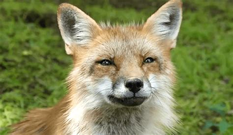 real life fox village   foxes   adorable   sounds video
