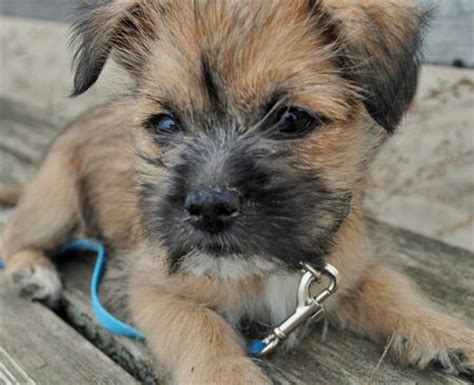 cairn terrier mix puppies teddy the cairn terrier mix puppies daily puppy