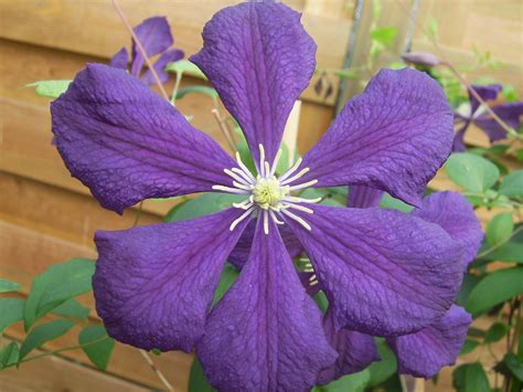 Clematis Blue 2549 by Clematis Blue Clematis Viticella Blue Wood