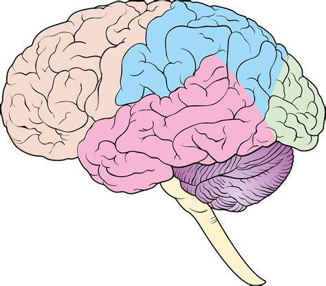 diagram of brain lobes diagram brain diagram unlabeled