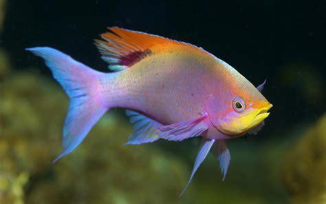 freshwater fish pelvicachromis pulcher freshwater fish downloads