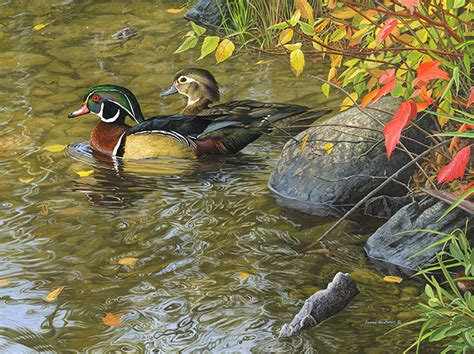 watercolor wood duck by manicmagician on deviantart james hautman original