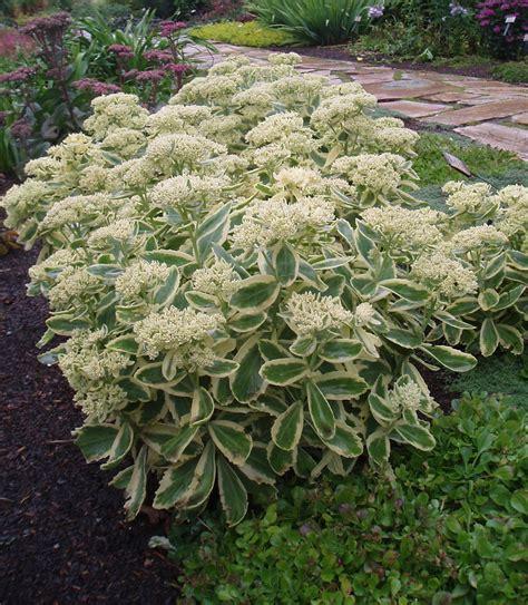 fall blooming perennials alberta perennial trials alberta perennial trials the alberta perennial trials