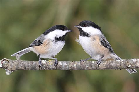 black capped chickadee information photos and facts