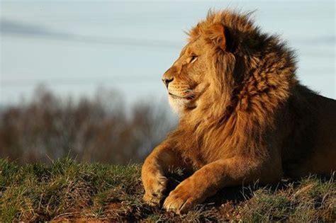 lion   fantastic examples  lion photography