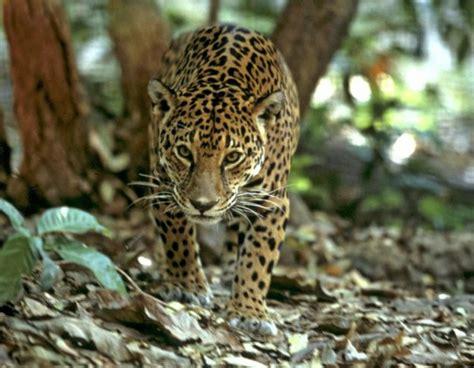 of jaguars jaguars wwf