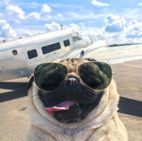doug the pug cup best 25 pug pictures ideas only on pugs pugs and baby pugs