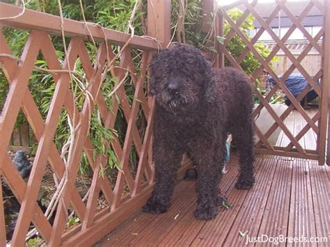 Lazy Non Shedding Dogs by Large Lazy Non Shedding Dogs Breeds Picture