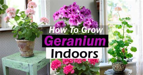 How to Grow Geranium Indoors Year Round   Balcony Garden Web