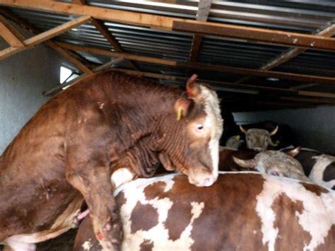 cattle barfblog