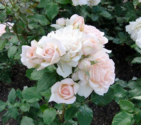 wallpaper gambar bunga ros gambar bunga mawar untuk wallpaper gudang wallpaper