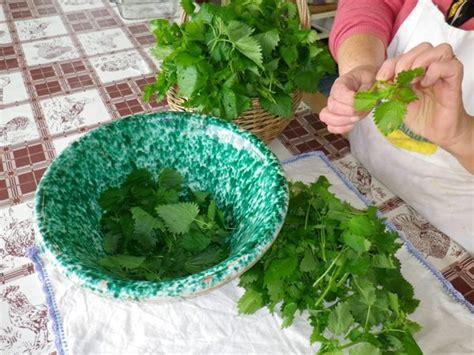 cucinare le ortiche ortiche in cucina come cucinare una pianta famigerata