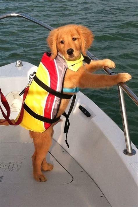dog boat life jackets ready to sail captain goldens pinterest so cute