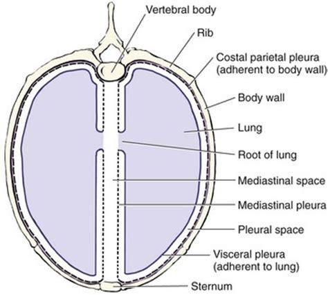 thoracic cavity cross section thoracic cavity veterian key