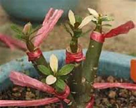 Kaktus Hias Euphorbia Lactea Ka53 teknik memperbanyak bunga adenium tanaman bunga hias