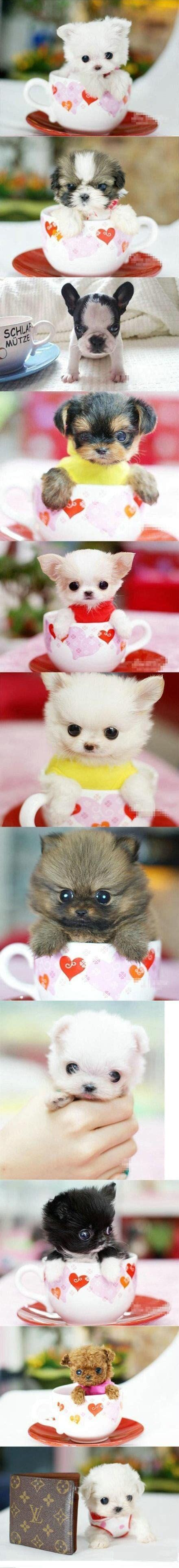 cutest teacup puppies the 25 best teacup puppies ideas on tiny puppies teacup puppies and