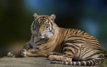 tiger themes for windows 7 free download tiger theme for windows 7