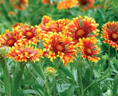 perennial flowers for sun ice plant best perennial flowers