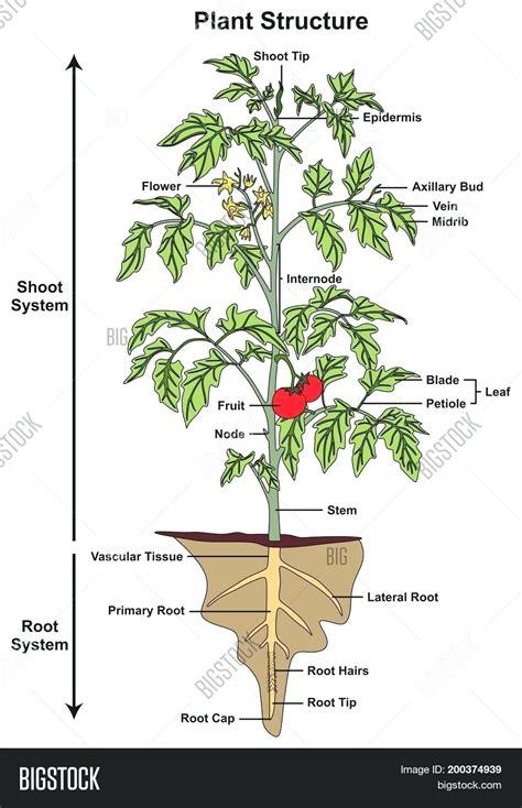 diagram leaf epidermis diagram