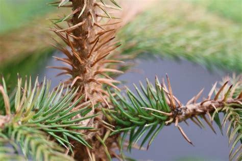 norfolk island pine plant care   grow araucaria