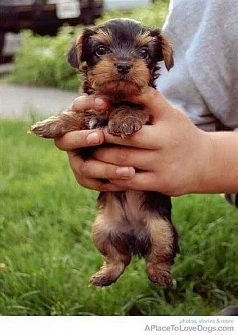 baby yorkies for adoption pin baby yorkies for adoption classified ad united states dogs and on