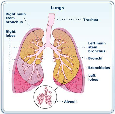 cystic fibrosis pathophysiology diagram free hair fashion cystic fibrosis lungs