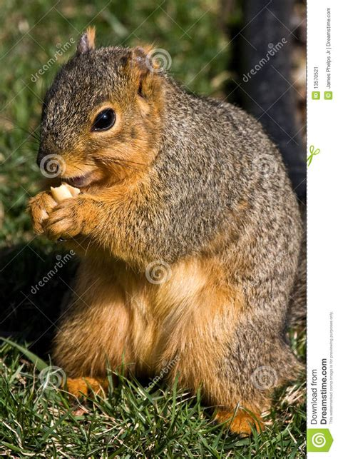 squirrel eating a peanut stock image image 13570521