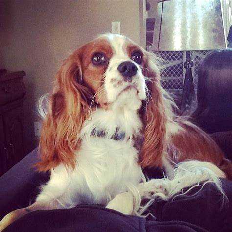 king charles breed cavalier king charles spaniel breed information and photos thriftyfun