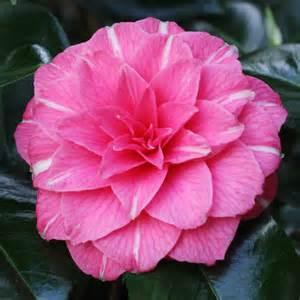 Gardenia Japonica Camellia Japonica April