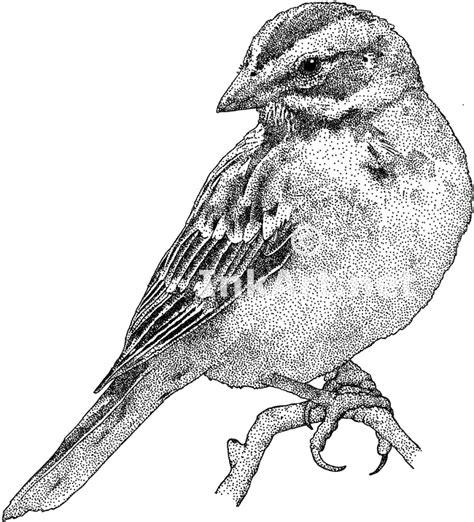 lark sparrow stock art illustration