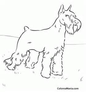 colorear perro schnauzer gigante animales domsticos dibujo colorear gratis