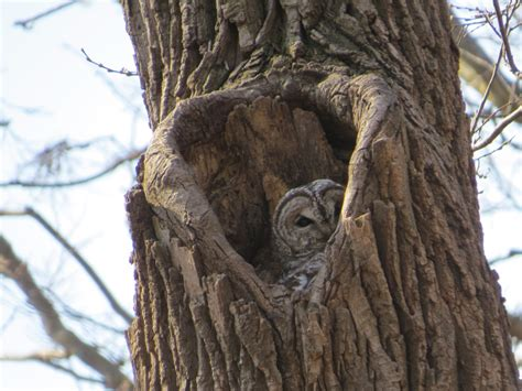 barred owl nest