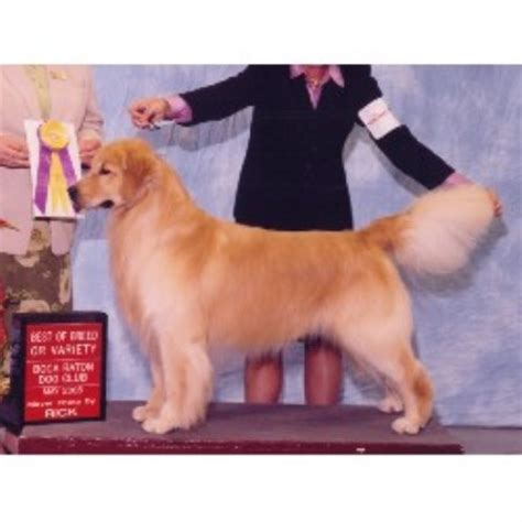 golden retrievers maryland reputable golden retriever breeders in maryland