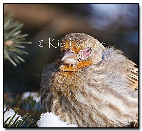 house finch conjunctivitis ladage photography photographs by kip ladage bremer