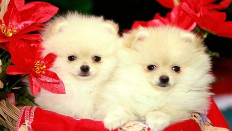 dogs and puppies for free puppy free hd wallpapers for iphone 5 free hd
